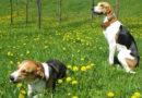 Потерялись 2 гончие собаки