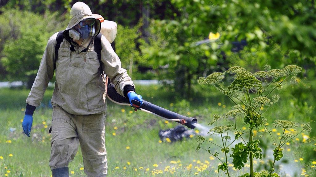 На борьбу с борщевиком в Нижегородской области в 2020 году выделят более девяти миллионов рублей