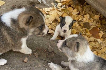 Отдам щенков от лайки в добрые руки