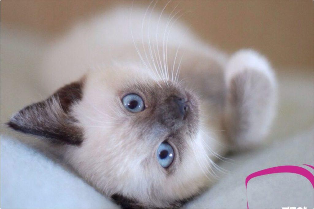 Отдадим в добрые руки сиамских котят