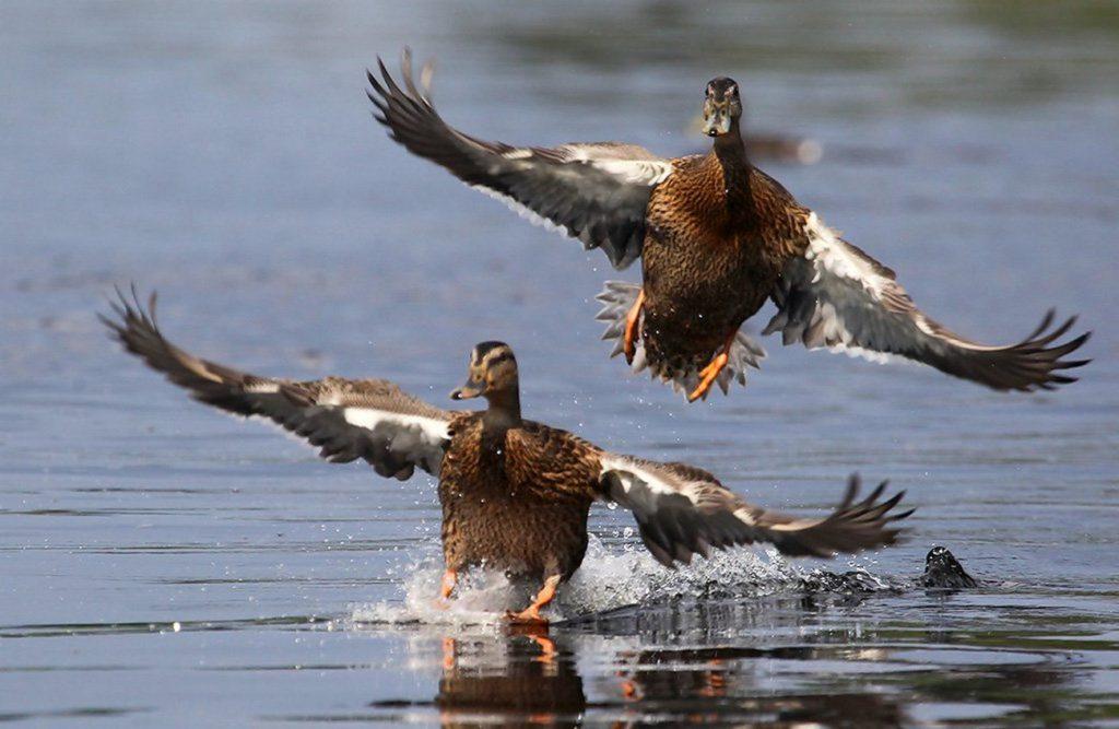 С 16 ноября в Нижегородской области закрыт сезон охоты на пернатую дичь